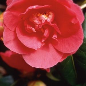 Camellia - 25 ml