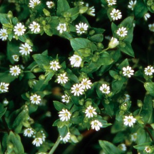 Chickweed - 25 ml