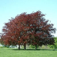 Copper Beech - 25 ml