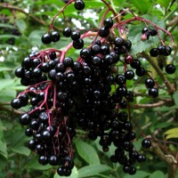 Elderberry - 25 ml
