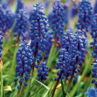 Grape Hyacinth - 25 ml