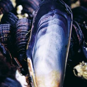 Mussel - 25 ml