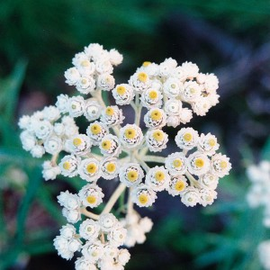 Pearly Everlasting - 25 ml