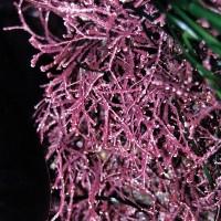 Pink Seaweed - 25 ml