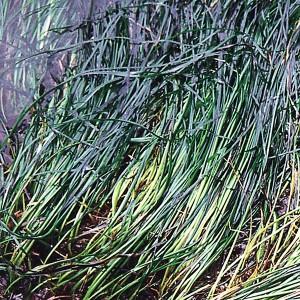 Surfgrass - 25 ml