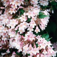 Weigela - 25 ml
